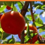 Новый год и мандарин – символ богатства. О китайских мандаринах. Притчи (часть II).