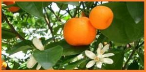 Новый год и мандарин – символ богатства. О китайских мандаринах. Притчи (часть III).
